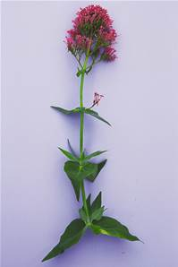 RED VALERIAN SEED