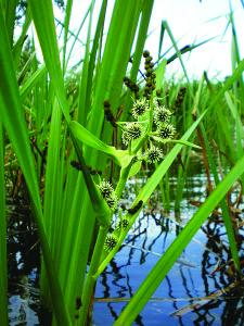 BRANCHED BUR-REED