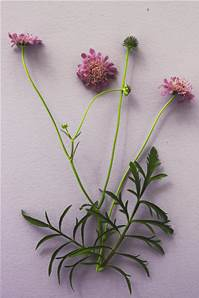 SMALL SCABIOUS SEED