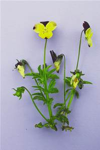 HEARTSEASE - WILD PANSY