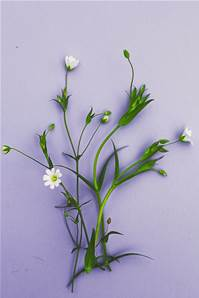 GREATER STITCHWORT SEED