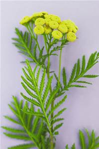 TANSY SEED