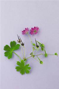 HEDGEROW CRANESBILL SEED