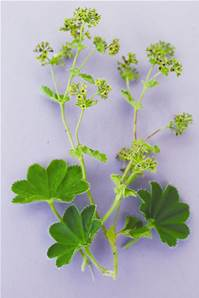 LADY'S MANTLE SEED