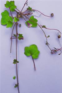 IVY-LEAVED TOADFLAX SEED