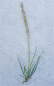 SEA ARROW GRASS SEED