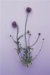 SHEEP'S BIT SCABIOUS SEED
