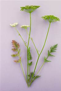 CAMBRIDGE MILK PARSLEY SEED