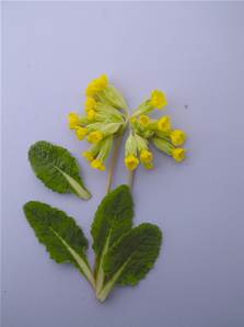 COWSLIP SEED