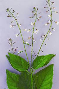 ENCHANTER'S NIGHTSHADE SEED