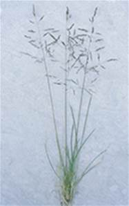 TUFTED HAIR GRASS SEED