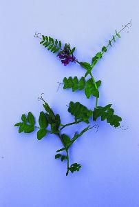 BUSH VETCH SEED