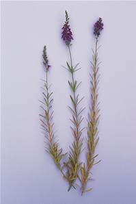 PURPLE TOADFLAX SEED